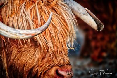 Highland Cattle II - New Zealand - Walters Peak