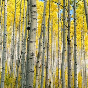 Forest For The Aspens