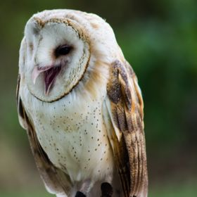 Laughing Barn Owl