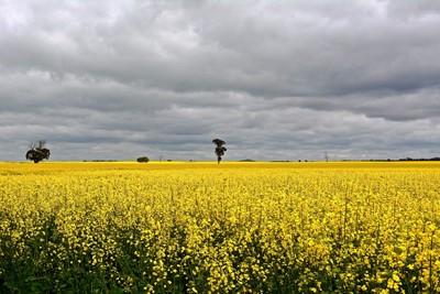 DSC_0532  ' Canola crop '