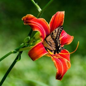 Tiger Lilly Butterfly