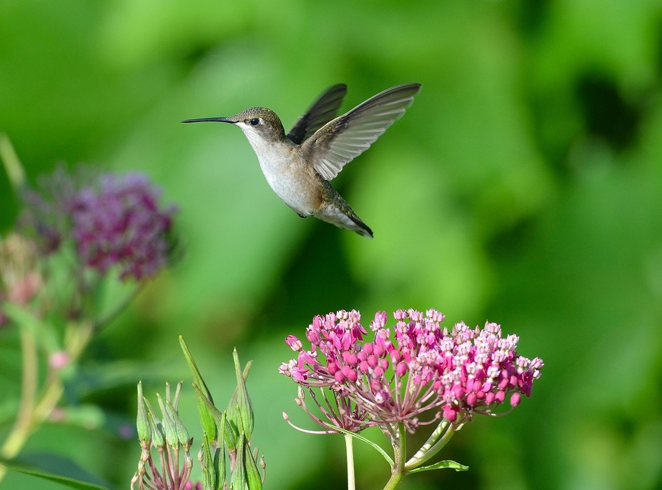 I captured this Ruby-throated Hummingbird that was checking out my milkweed plant. I love Humming...