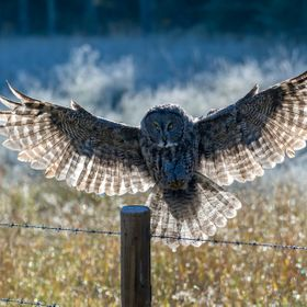 Great Grey Owl landing on a frosty morning