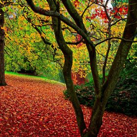 The picture is taken in a park in Surrey, England mid-October. I was amazed by the red carpet of fallen leaves.