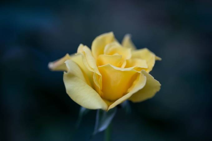Yellow flower by rprphotography - Yellow Beauty Photo Contest