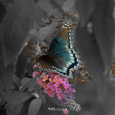 In the fall I love to stalk my butterfly garden. This image is part of 2 Collections. The Flutterby Collection Colour Minus Collection