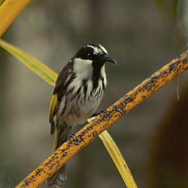 White Cheeked Honeyeater, SE Queensland, Aus
