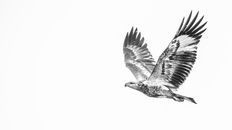 Wild White Bellied Sea Eagle In Flight