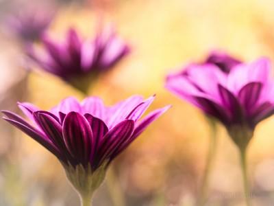 ** Flower Dream **