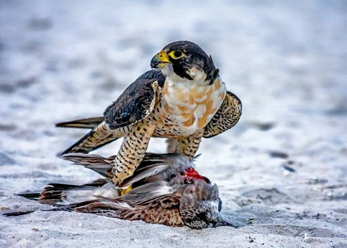 Mine! by gailhowarth - Food Chain Struggles Photo Contest