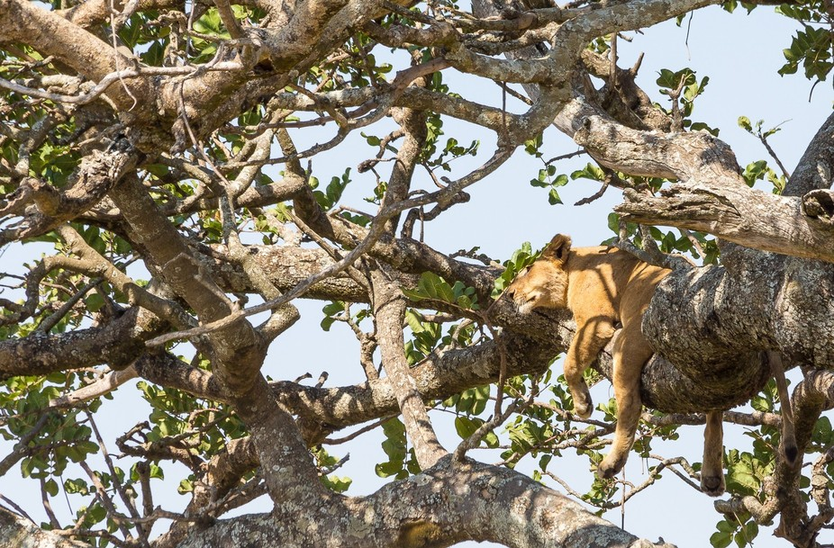 From the plains of #Serengeti, Lions, sometimes, take afternoon siestas on trees.