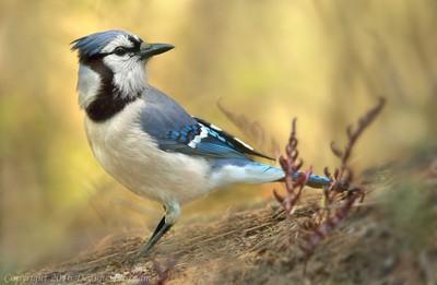 Woodland Blue Jay