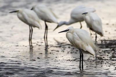Little Egrets at Alkborough