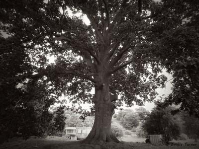 Oak in black and white