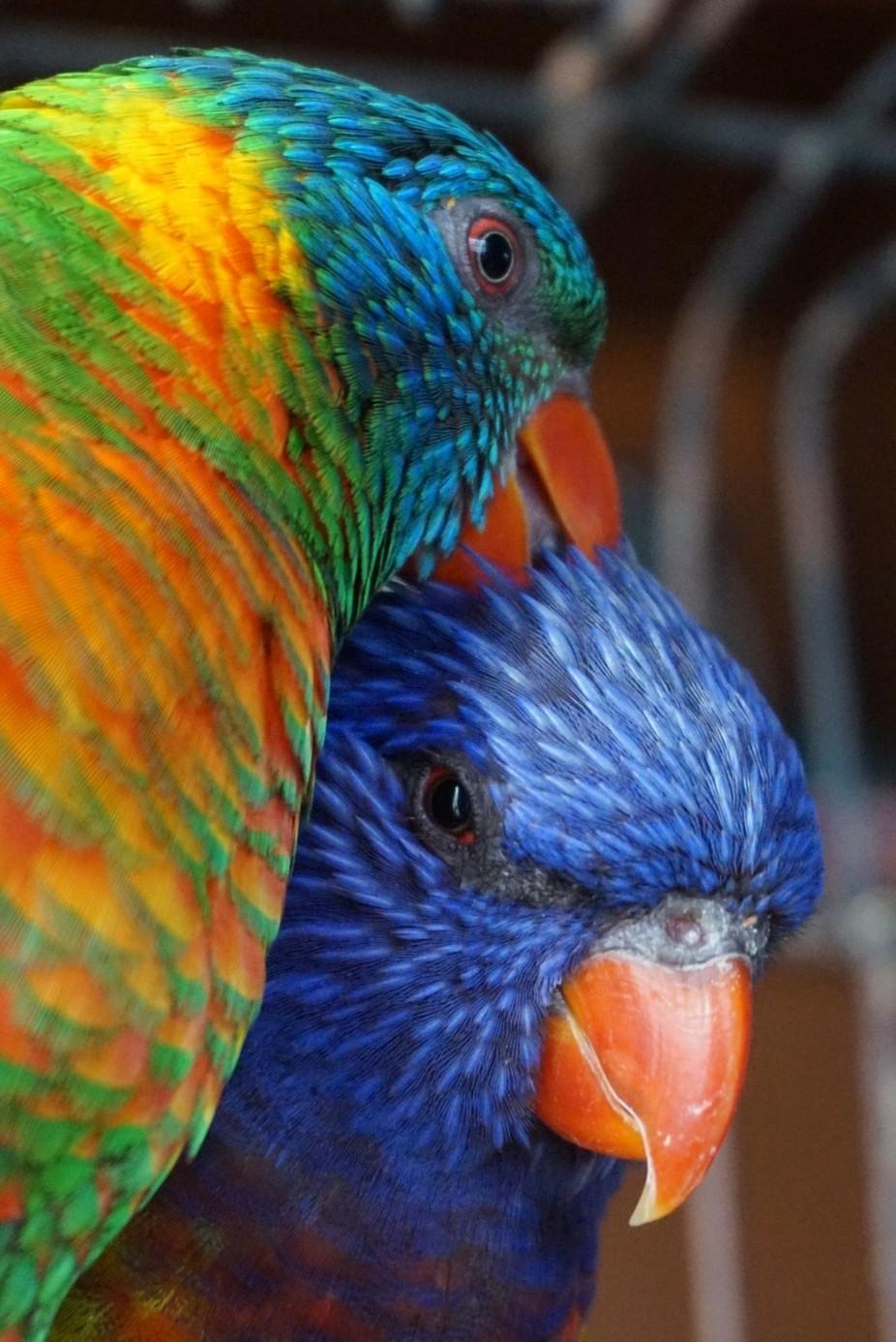 Rainbow lorikeets bonding