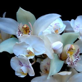 When two of my white orchids, an outdoor Cymbidium and an indoor Phalaenopsis come together, it's a marriage any bride would love on that speci...