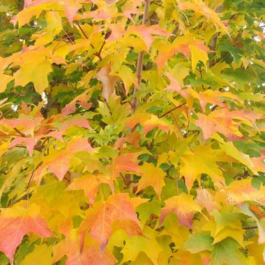 Maple Leaves in Yellows - Sept 26, 2016