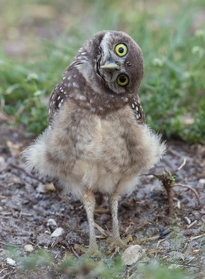 Cooper the Burrowing Owl (SB Zoo, CA 2012)