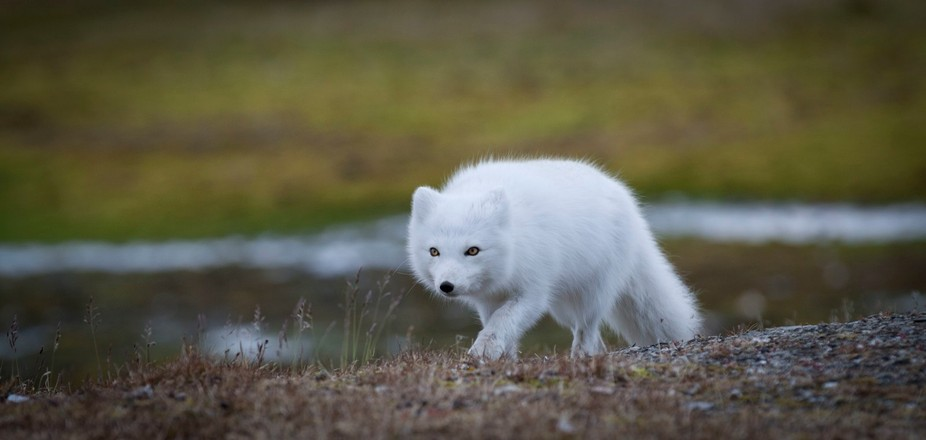 Arctic Fox