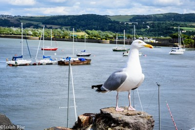 UK Seagull