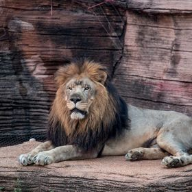 King of the jungle chilling out at the zoo!