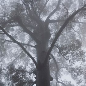 A big elderly tree standing still in amongst cloud in the forest.