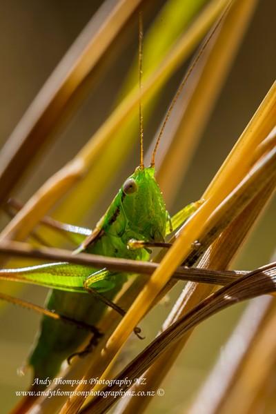 'Cricket, Cricket'