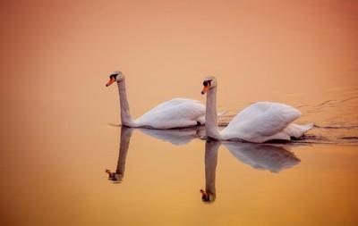 Swan Lake Reflections (2012)
