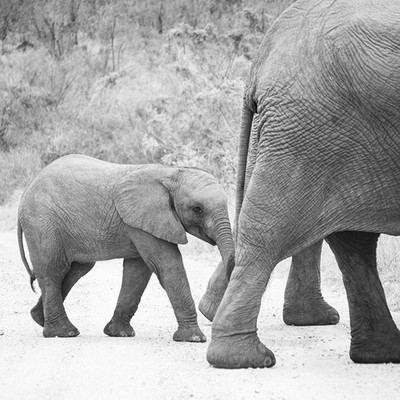 A tiny elephant calf stays close behind its mother. #elephant #calf #Nikon #