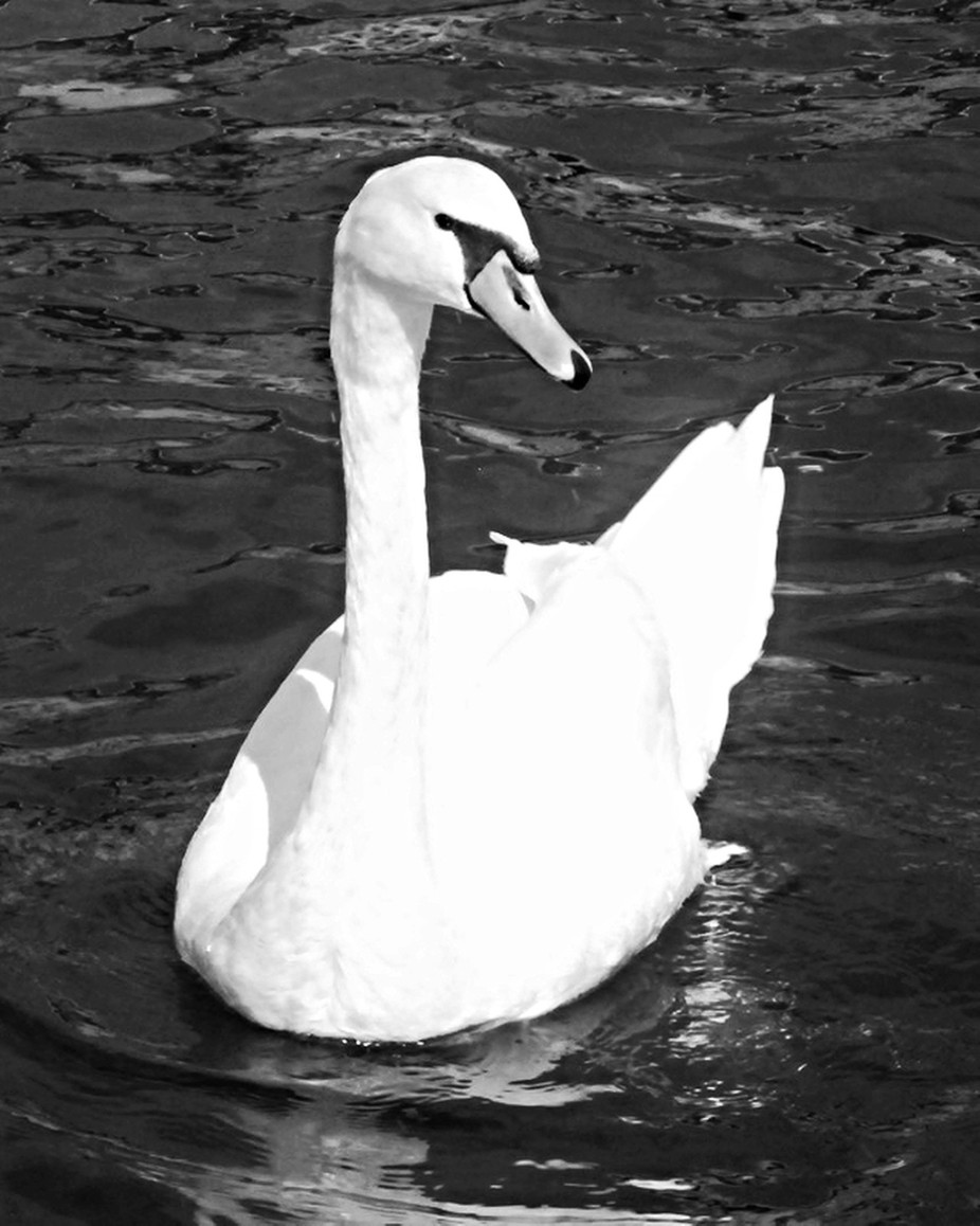 Swan 2 copy