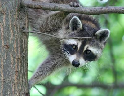 Raccoon_5768