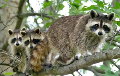 Raccoons_5792