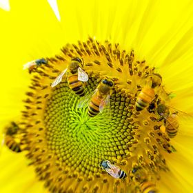 a group of honey bee is picking the flower on the sunflower