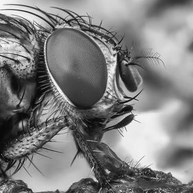 Black and White Fly - Hand held focus stack of 5 images
