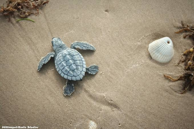 Tiny Turtle w/shell _9877 by BBBimagemediastudios - Wildlife And Water Photo Contest