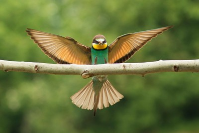 Bee eater in flight