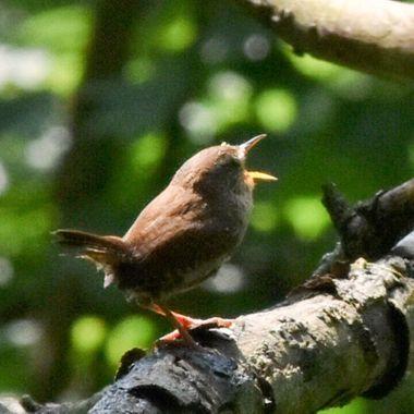 Captured in Crane Park, West London. Little bird was chirruping it's head off!