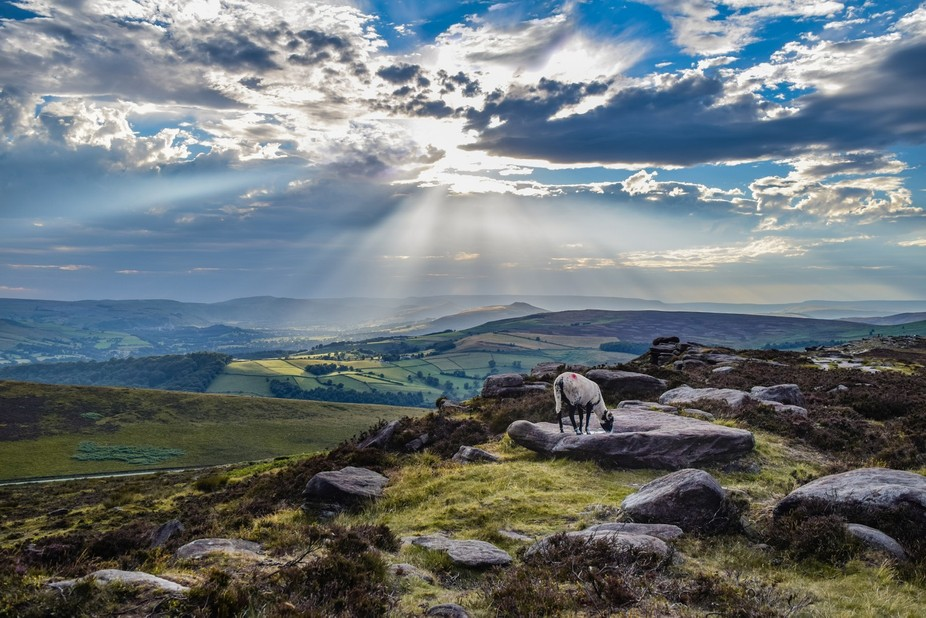 A sheep taking a drink in The Peak District UK ,with the sun rays behind beaming down over Hope V...