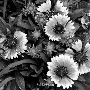 Monochrome beauty from my garden