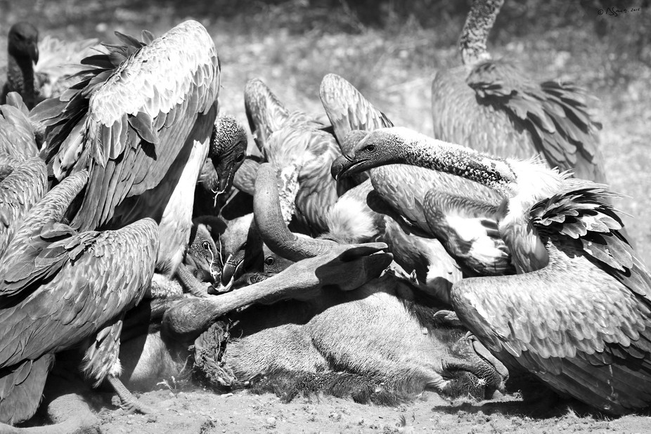 Image taken in the Tuli Safari Area of Botswana. The vultures circle above and then come in to la...
