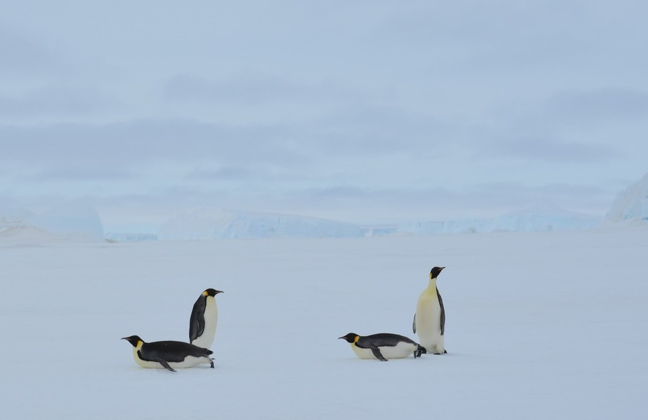 These 4 Emperor penguins were on Antarctic pack ice. Two were heading back to the rookery to feed...