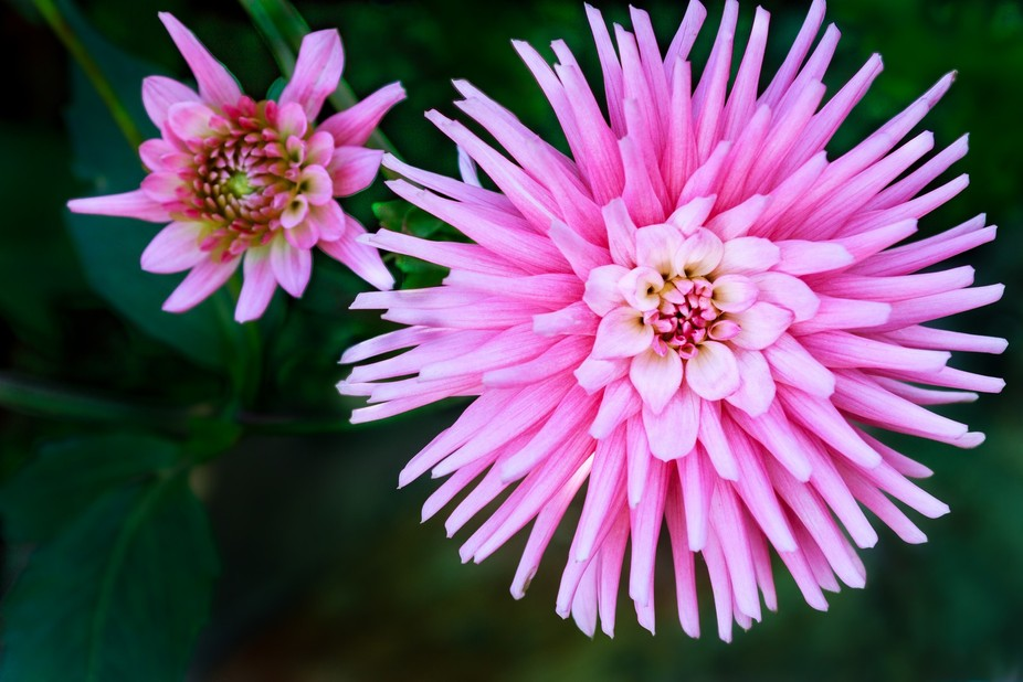 This pair of marvelous late Autumn dahlia are displaying their beautiful pink suit.....