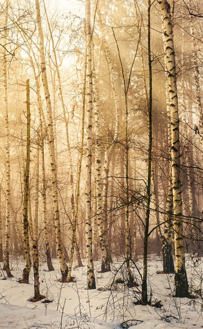 Winter scenery in the aspen forest