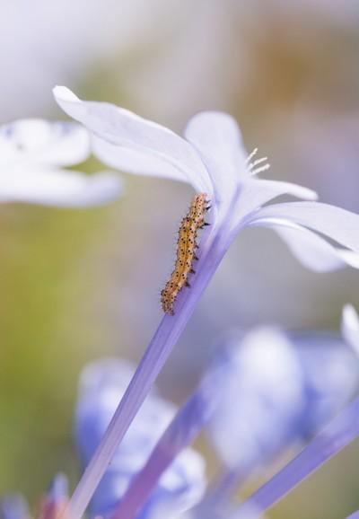 Ethereal Caterpillar