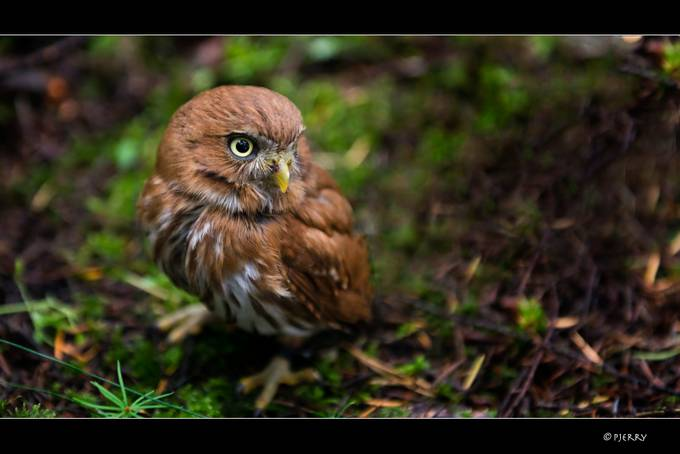 little owl (Athene noctua) by Pjerry - Green Eyes Photo Contest