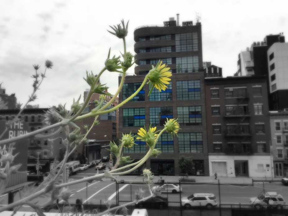 Contrast of nature and city, with the appearance that the bright yellow flowers are reaching out ...