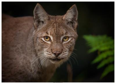 Lynx In Portrait