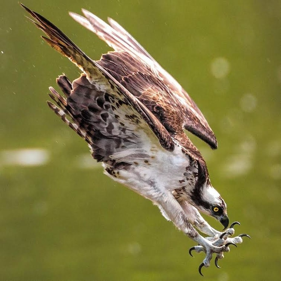 Osprey Dive by chriseadams - Fast Photo Contest
