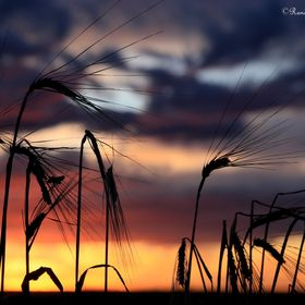 Canadian prairies are known for their grain production - this is barley left standing at sunset