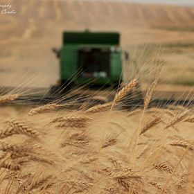 Harvesting a field of Durum on the Canadian prairies